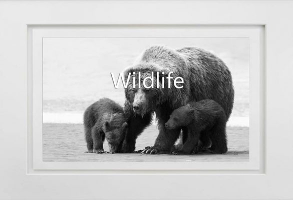 Wildlife Photographs and Art for sale