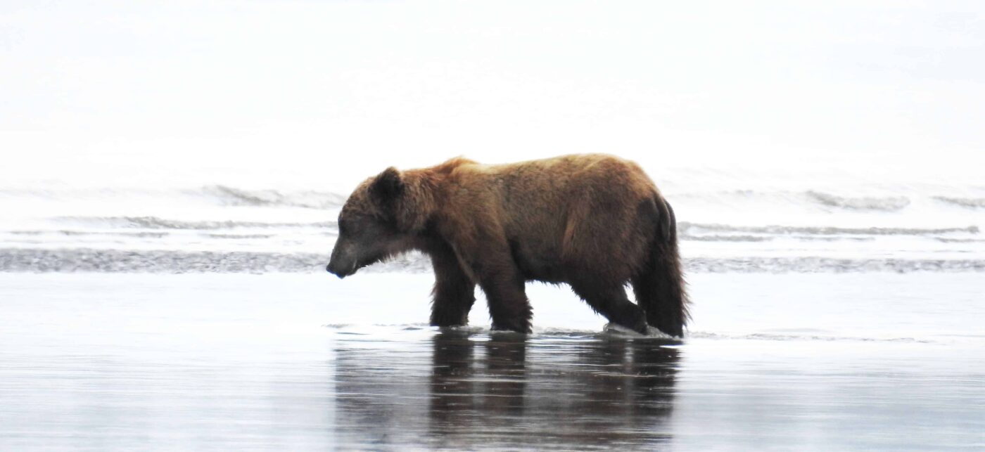 Black Bear Grizzly Bear Cubs Posters and Prints 1