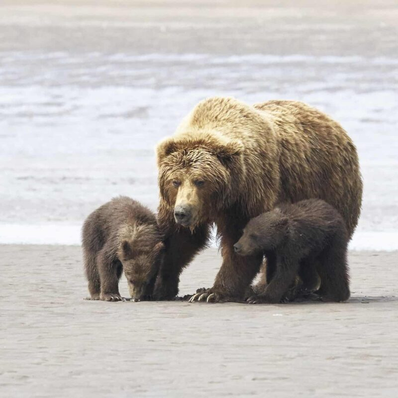 Black Bear Grizzly Bear Cubs Posters and Prints 10
