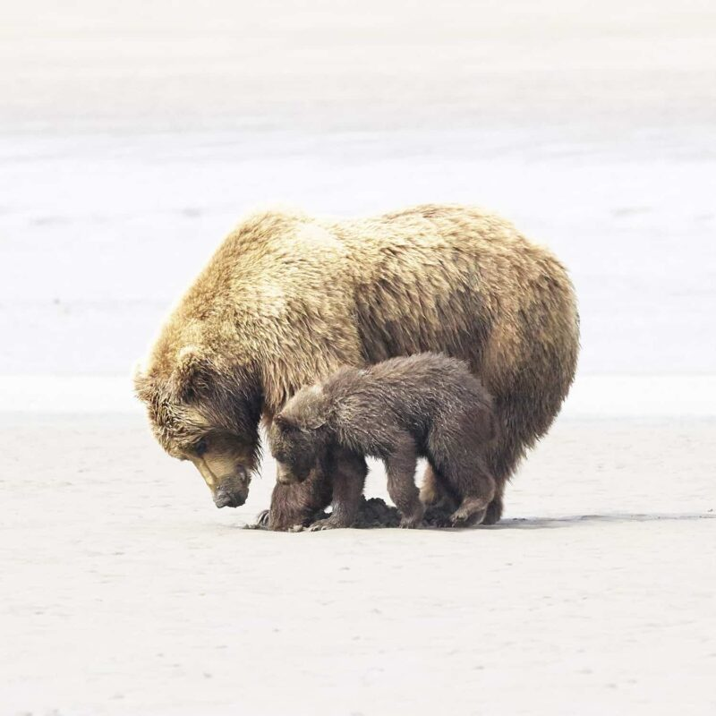 Black Bear Grizzly Bear Cubs Posters and Prints 13