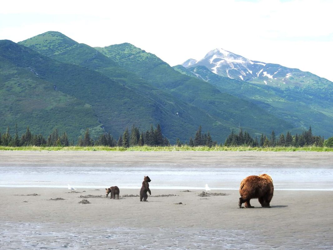Black Bear Grizzly Bear Cubs Posters and Prints 2