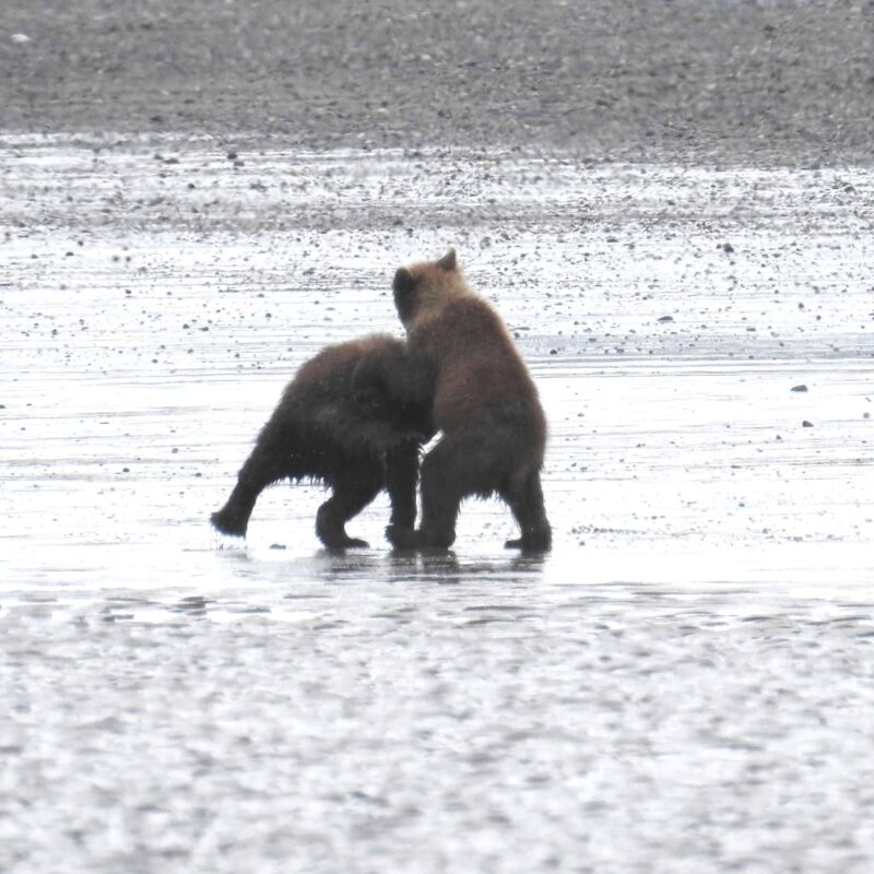 Cute Adorable Grizzly Bear Cubs babies playing 2