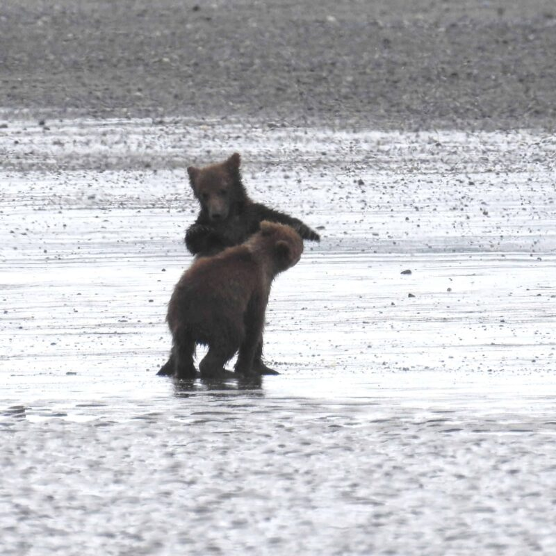 Cute Adorable Grizzly Bear Cubs babies playing 3