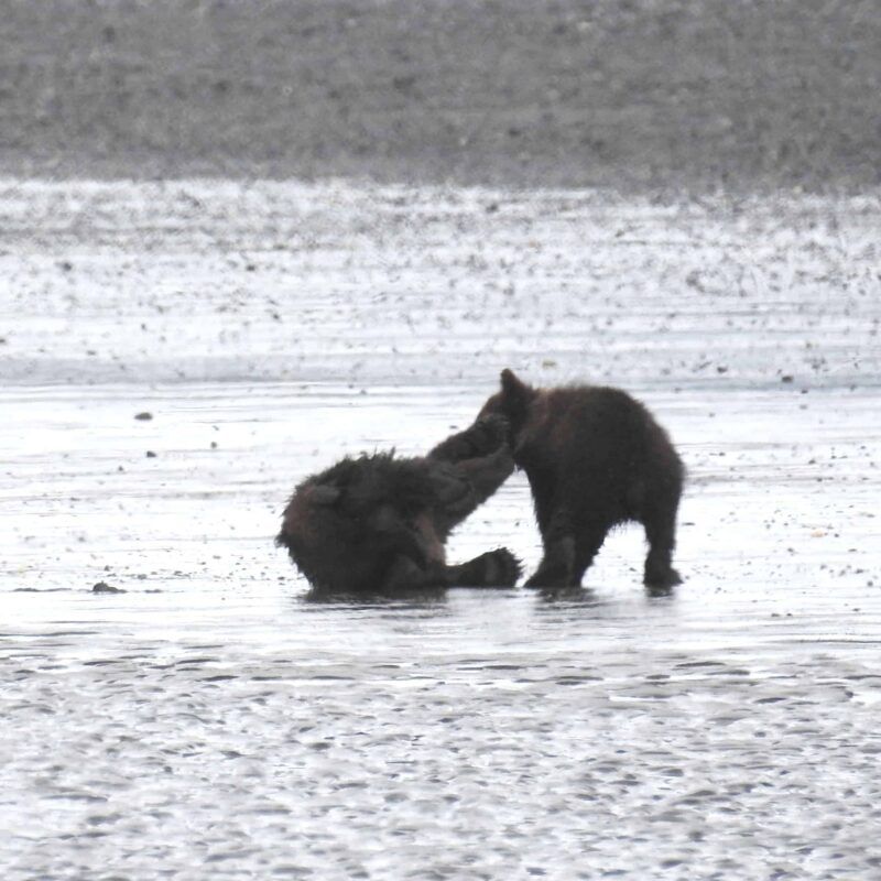 Cute Adorable Grizzly Bear Cubs babies playing 4