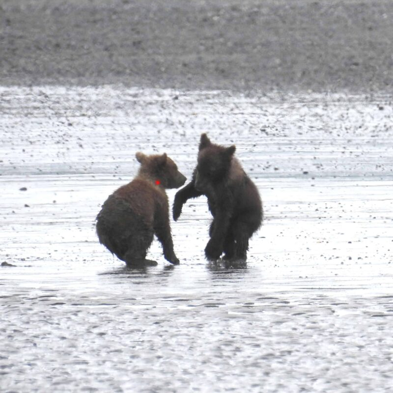 Cute Adorable Grizzly Bear Cubs babies playing 5