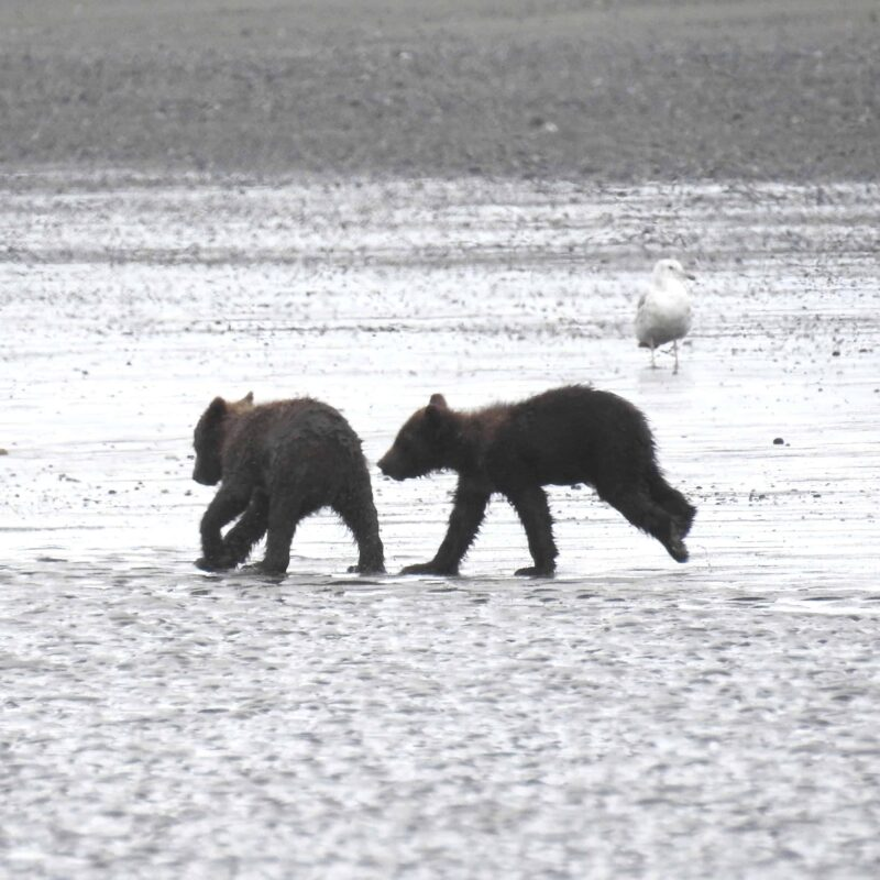 Cute Adorable Grizzly Bear Cubs babies playing 7