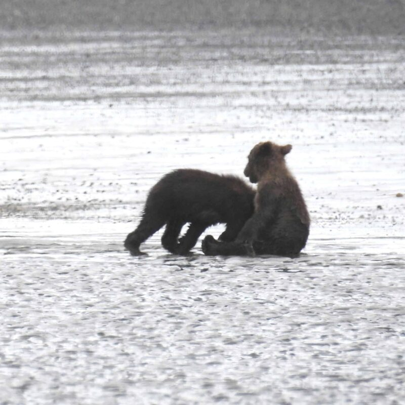 Cute Adorable Grizzly Bear Cubs babies playing 8