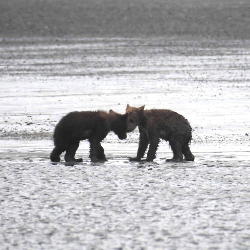 Cute Adorable Grizzly Bear Cubs babies playing 9