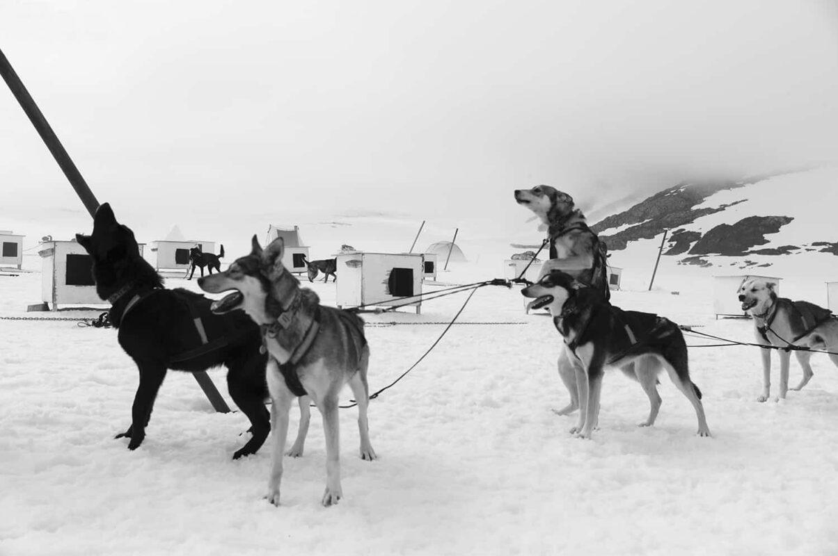 Glacier Dog sled Alaska Black and White Photography 12