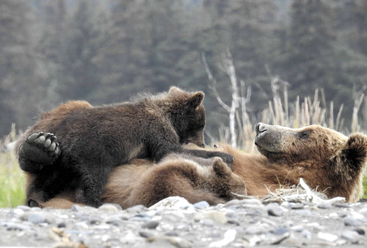 Grizzly Mama Bear nursing her cubs dr zenaidy castro 1