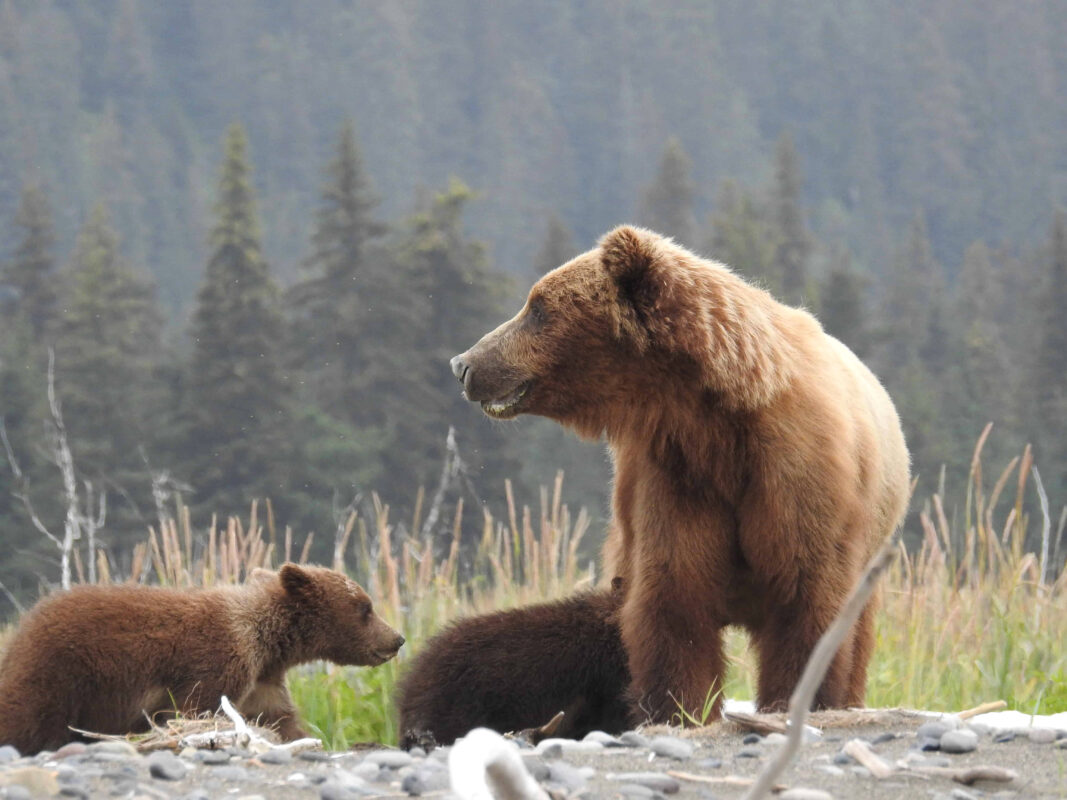 Grizzly Mama Bear nursing her cubs dr zenaidy castro 10