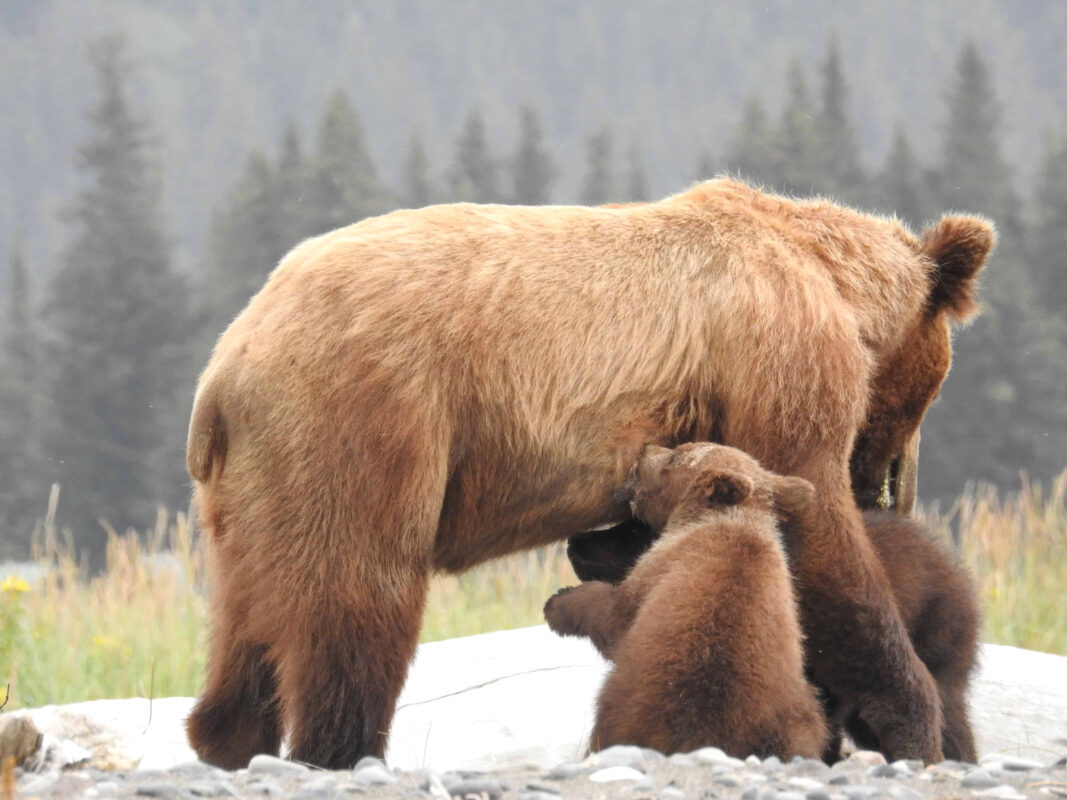 Grizzly Mama Bear nursing her cubs dr zenaidy castro 12