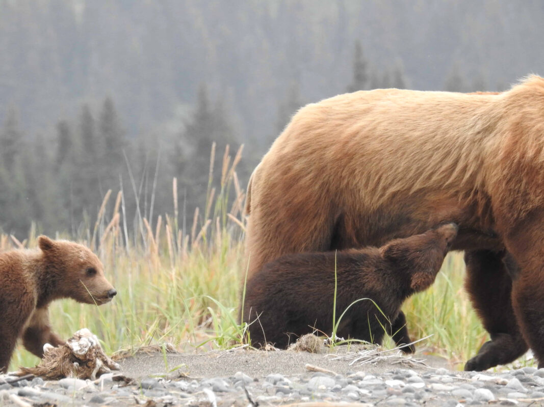 Grizzly Mama Bear nursing her cubs dr zenaidy castro 14