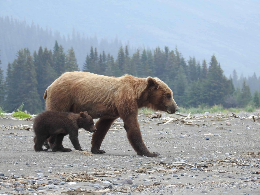 Grizzly Mama Bear nursing her cubs dr zenaidy castro 15