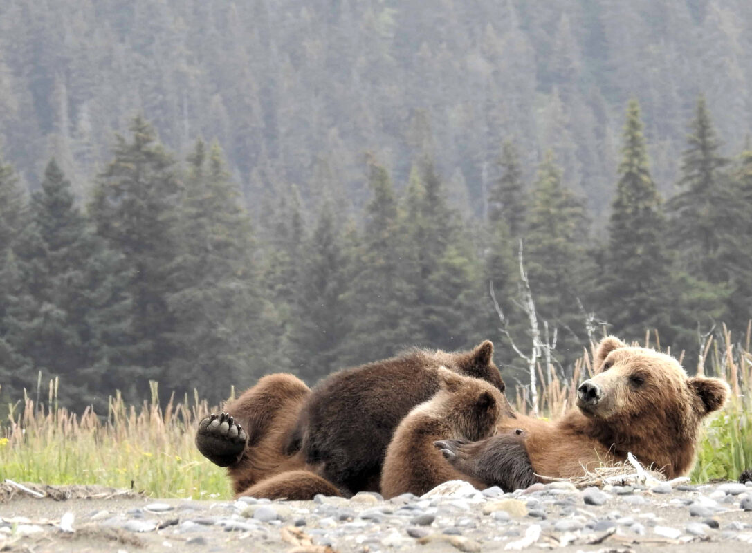 Grizzly Mama Bear nursing her cubs dr zenaidy castro 3