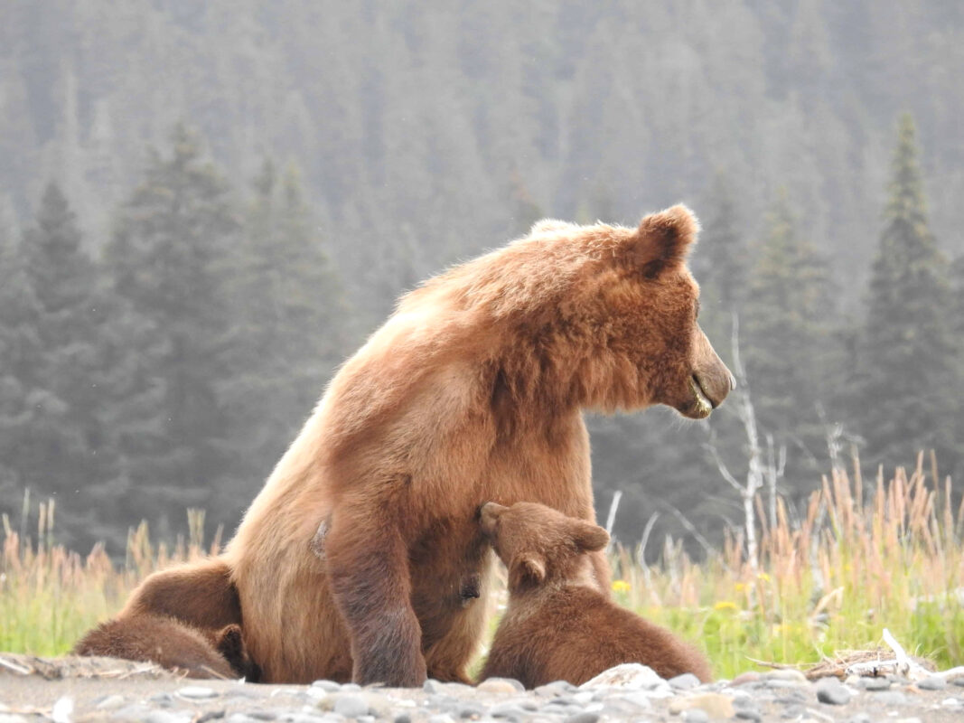 Grizzly Mama Bear nursing her cubs dr zenaidy castro 6