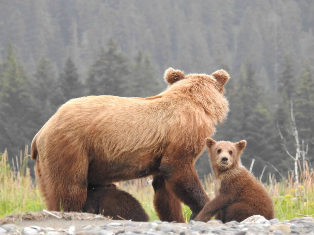 Grizzly Mama Bear nursing her cubs dr zenaidy castro 7