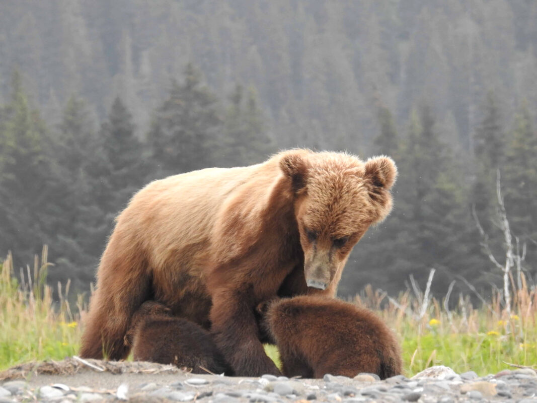 Grizzly Mama Bear nursing her cubs dr zenaidy castro 8