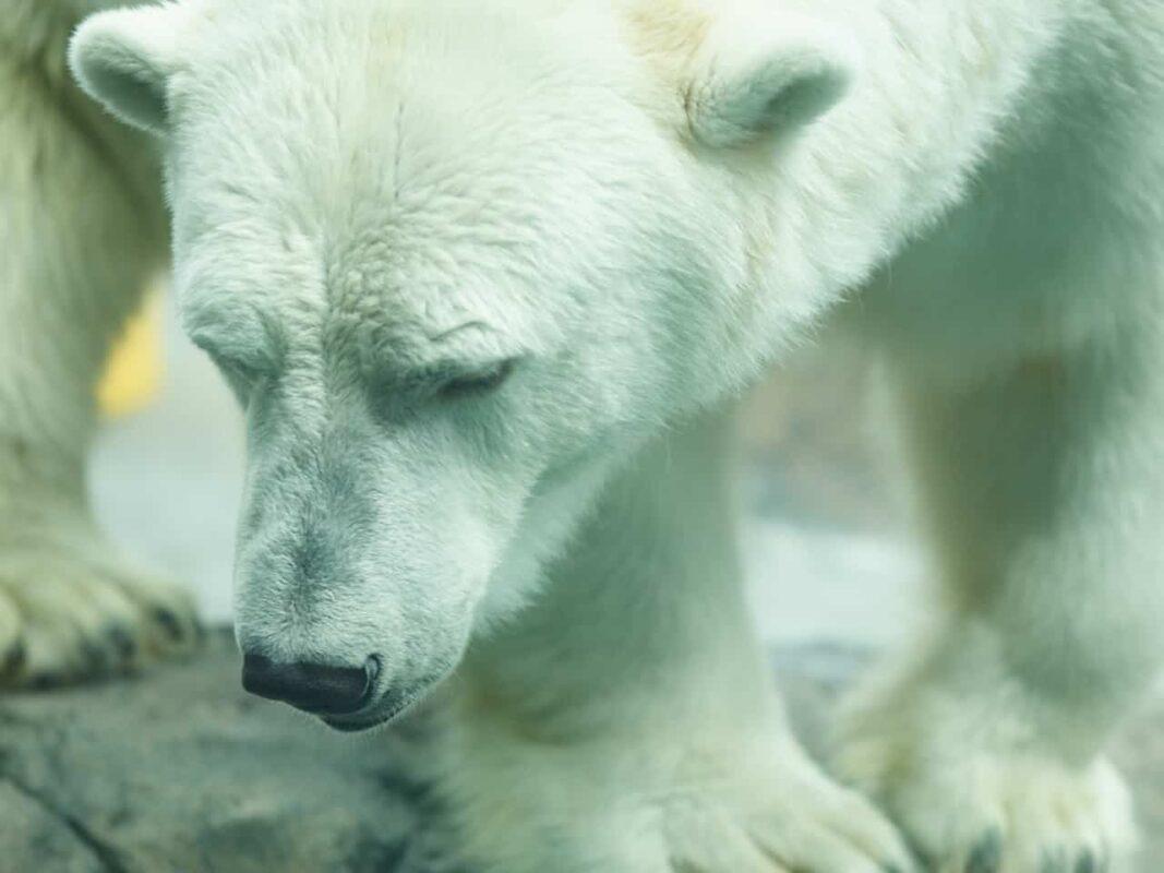 Polar Bear Photography Polar Bear in Zoo captivity 1
