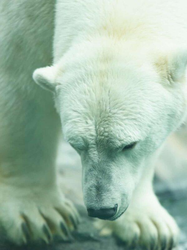 Polar Bear Photography Polar Bear in Zoo captivity 2