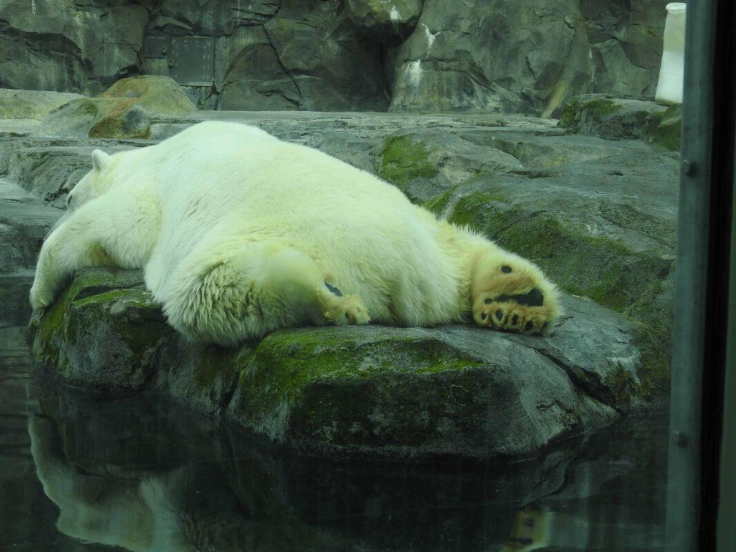 Polar Bear Photography Polar Bear in Zoo captivity 4