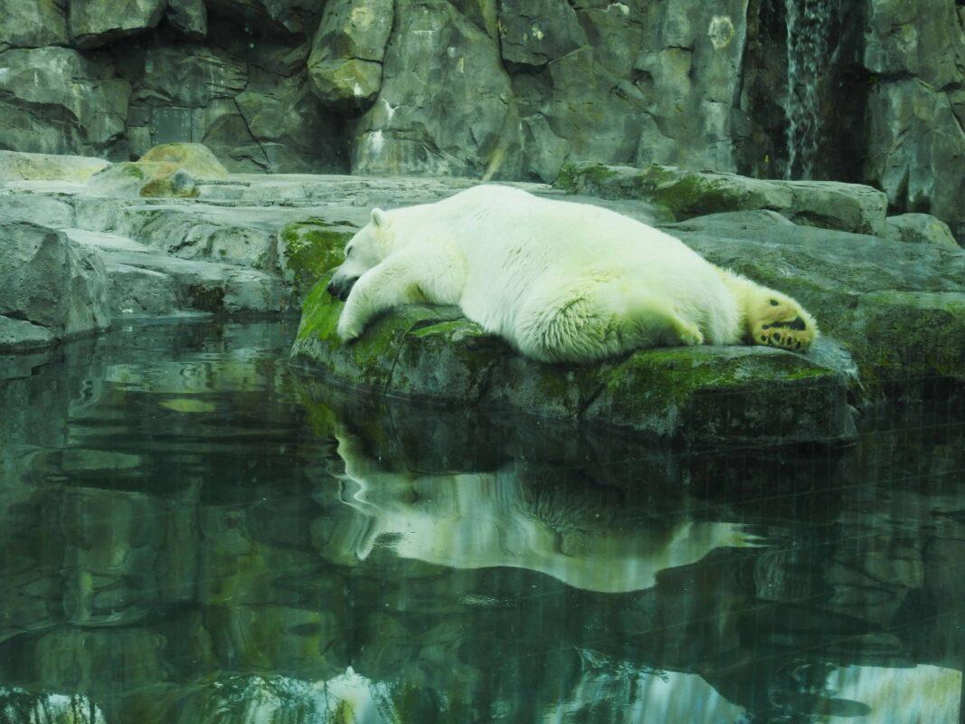 Polar Bear Photography Polar Bear in Zoo captivity 5