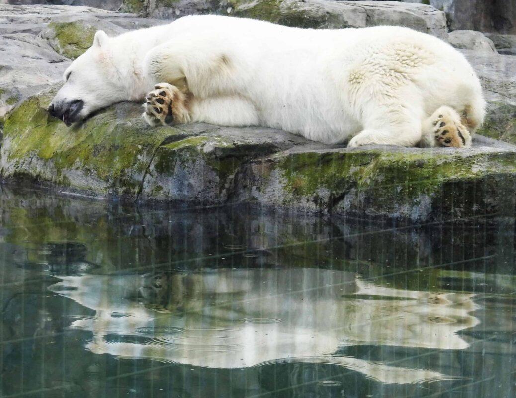 Polar Bear Photography Polar Bear in Zoo captivity 6