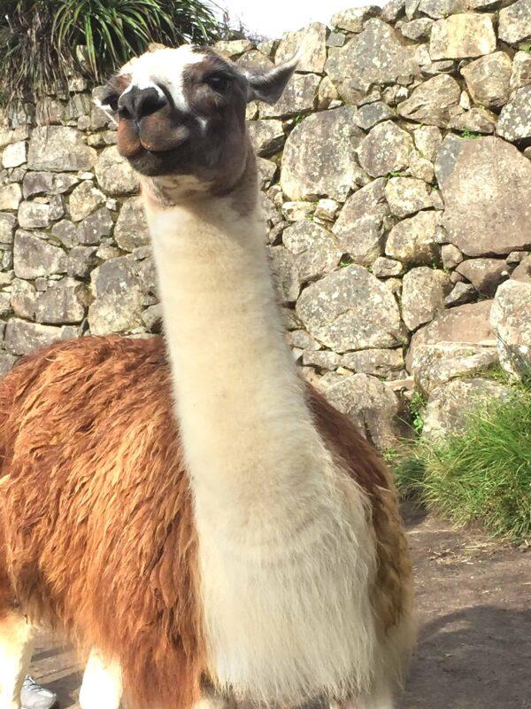 The Llamas of Machu Picchu 8