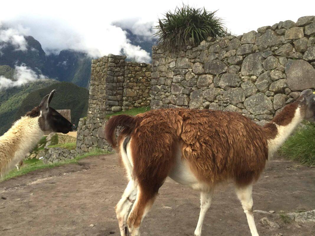 The Llamas of Machu Picchu 9
