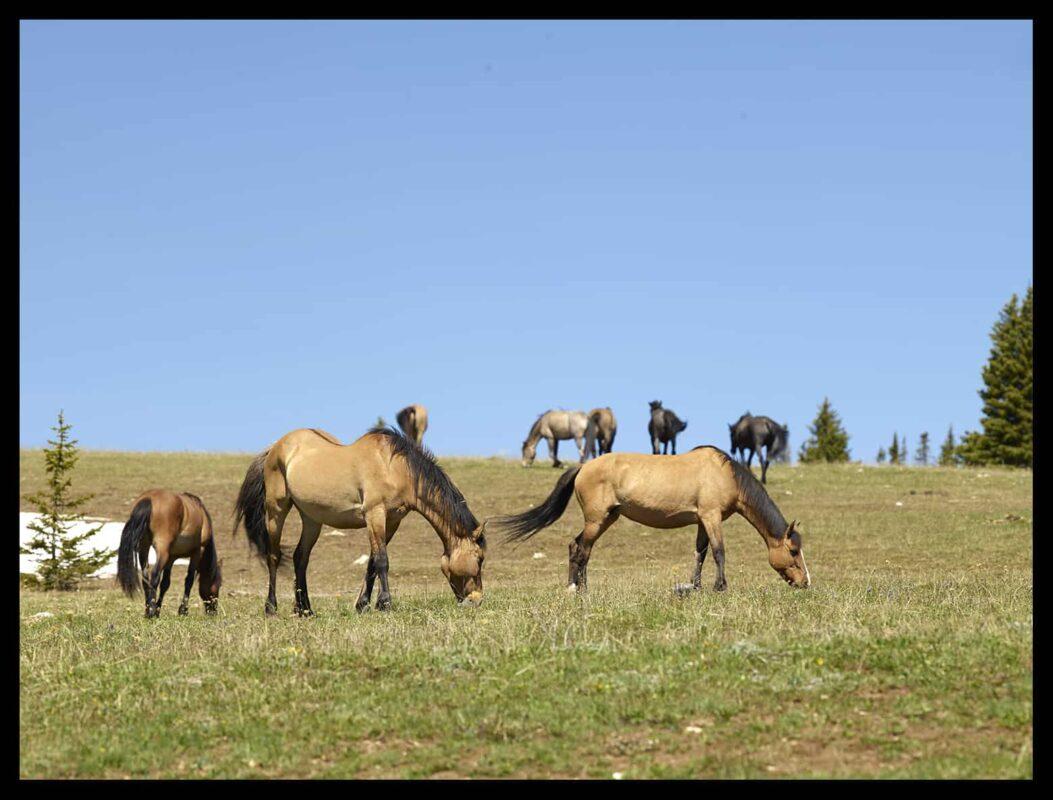 Wild Horses Mustangs Society 1
