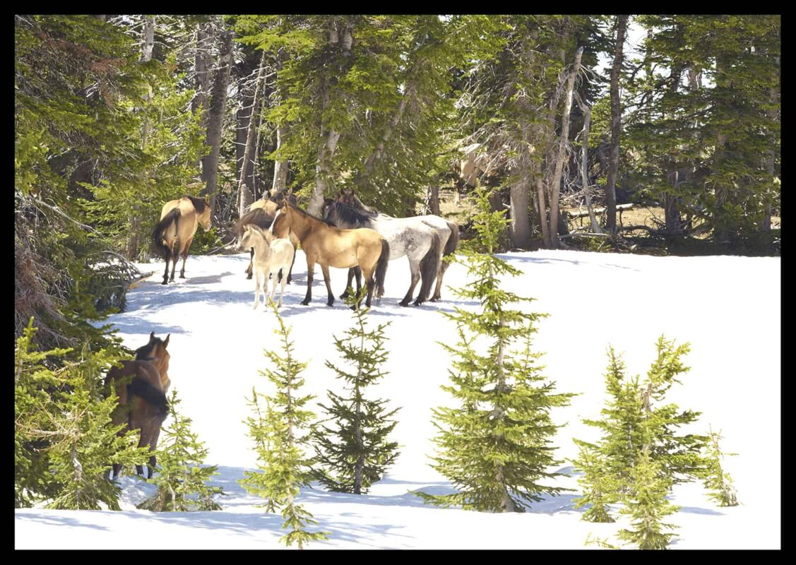 Wild Horses Mustangs Society 2