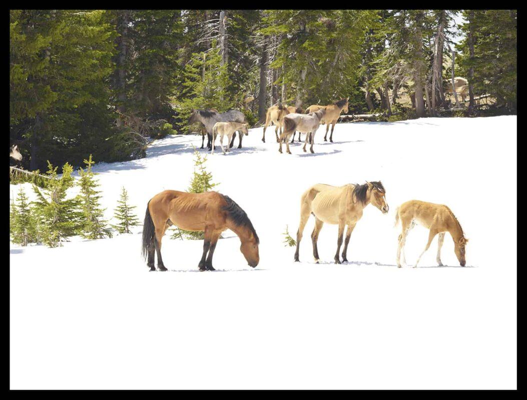 Wild Horses Mustangs Society 3