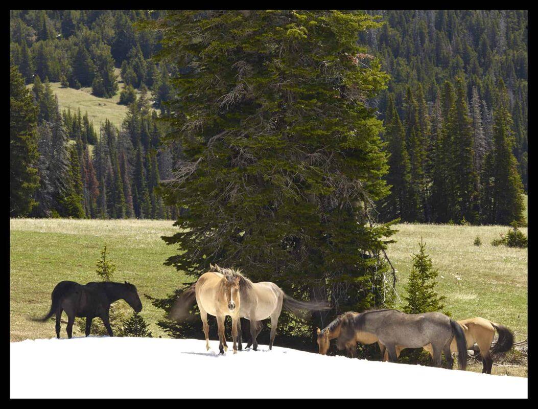 Wild Horses Mustangs Society 5