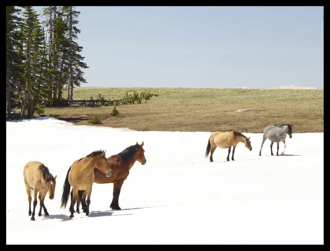 Wild Horses Mustangs Society 6