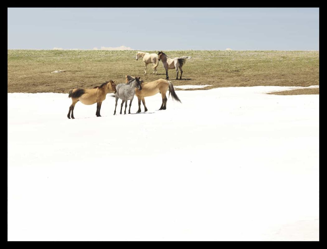Wild Horses Mustangs Society 7