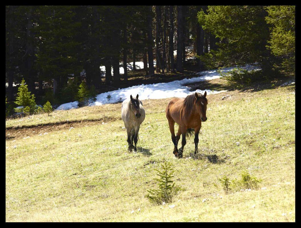 Wild Horses Mustangs Society 8